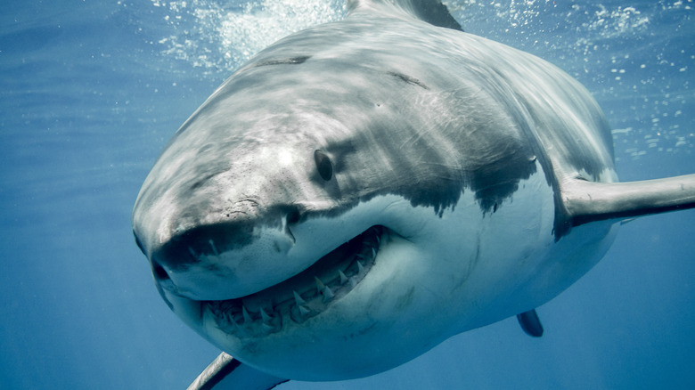 shark from the front