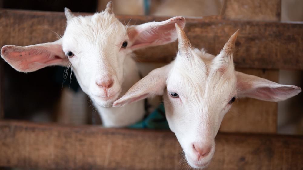 Two cute goats awaiting surgery