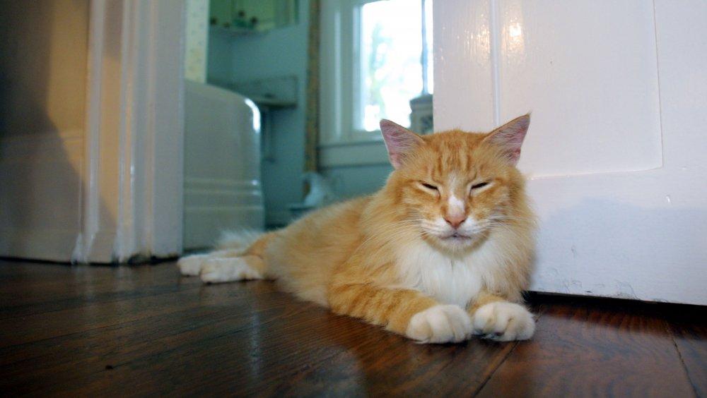 Cat in Hemingway's house