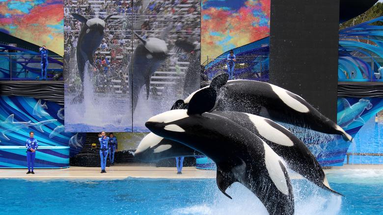 SeaWorld killer whale show