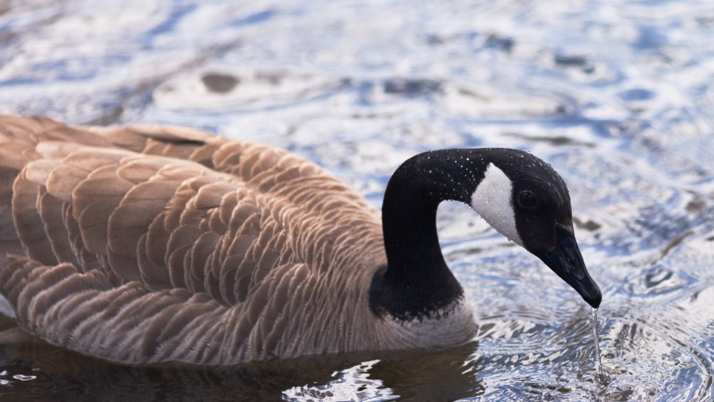 Goose to be pulled, or not