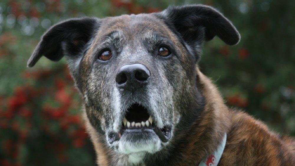 surprised dog old