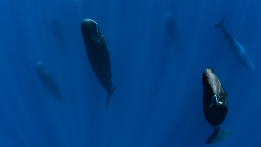 sperm whales sleeping