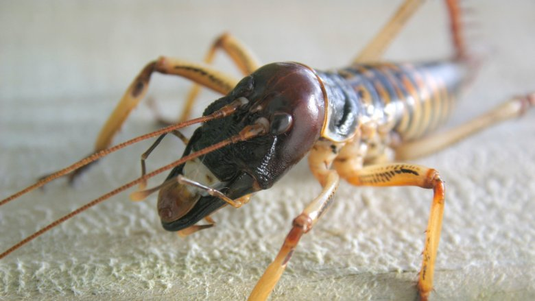 Giant Weta, Largest Insect