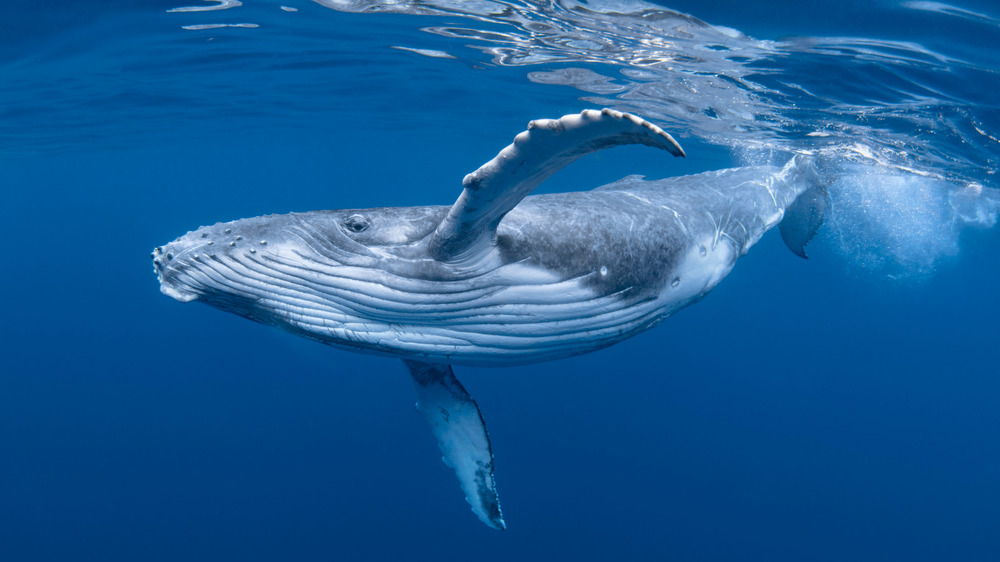 A baby humpback whale swimming in deep blue water