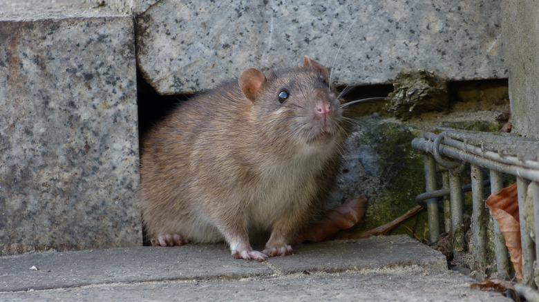 Rat emerging from hole