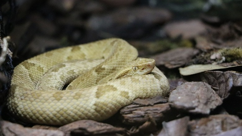 golden lancehead pit viper snake