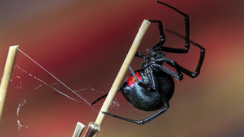black widow spider on sticks