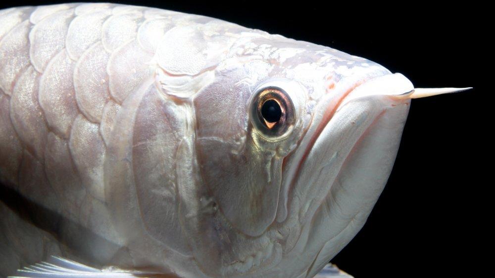 Platinum Arowana, Expensive Fish