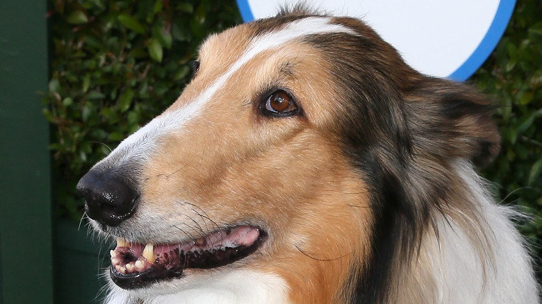 Current dog who plays Lassie
