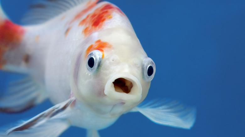 Goldfish swimming with open mouth