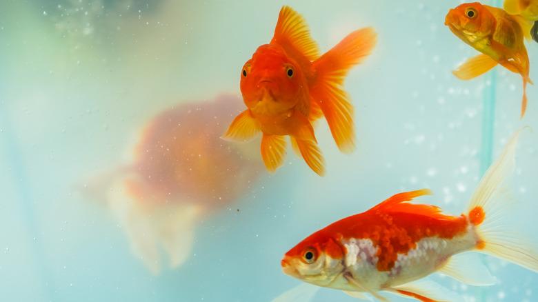 Несколько плавающих золотых рыбок