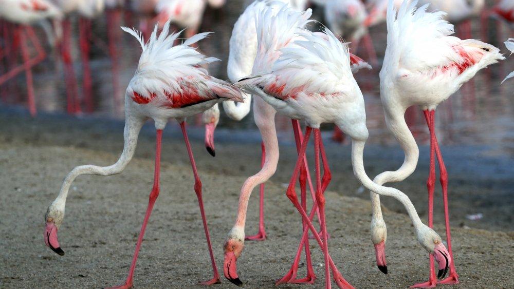 Migrating flamingos