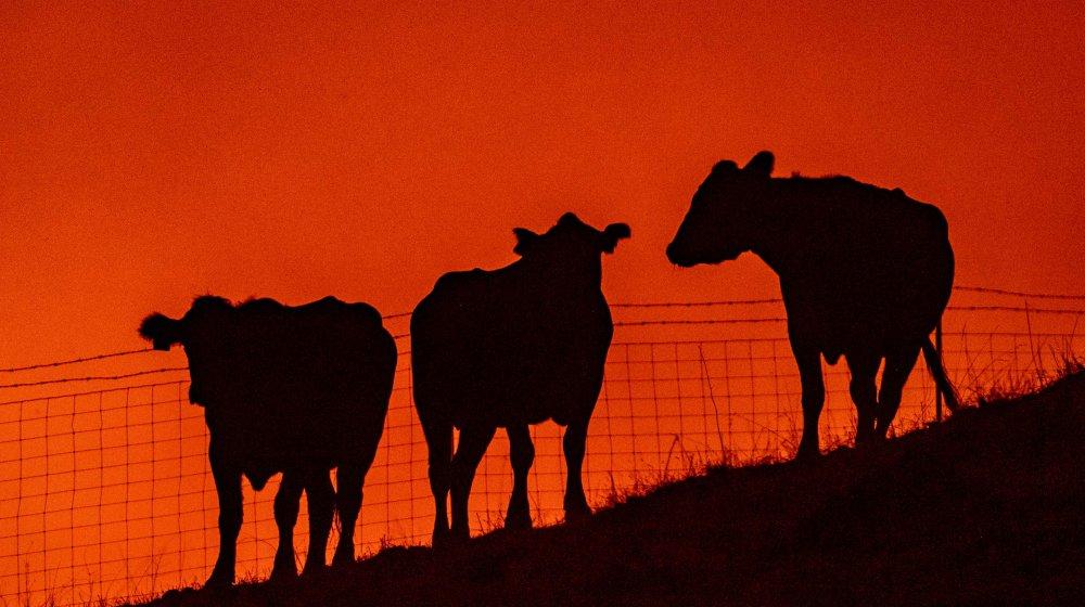 majestic bovines
