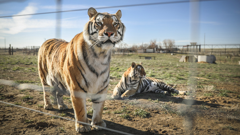 Two of Joe Exotic's tigers
