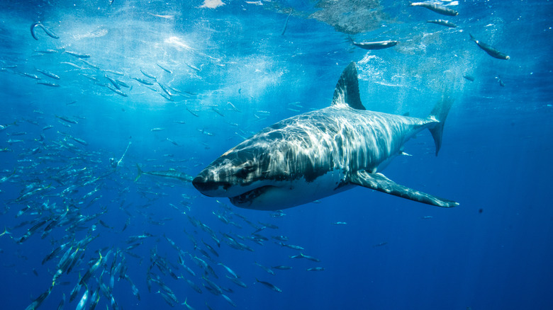Great white shark off Mexico