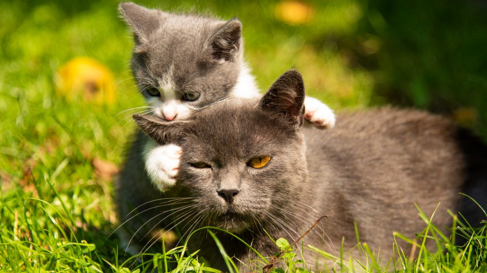 Kitten and mother playing