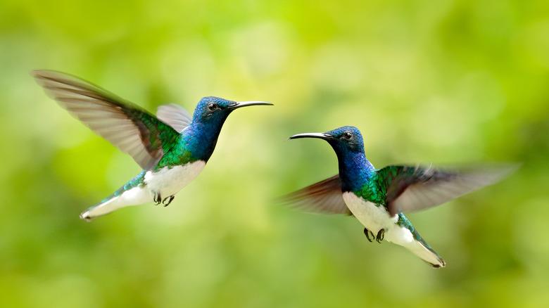 White-necked jacobins in flight