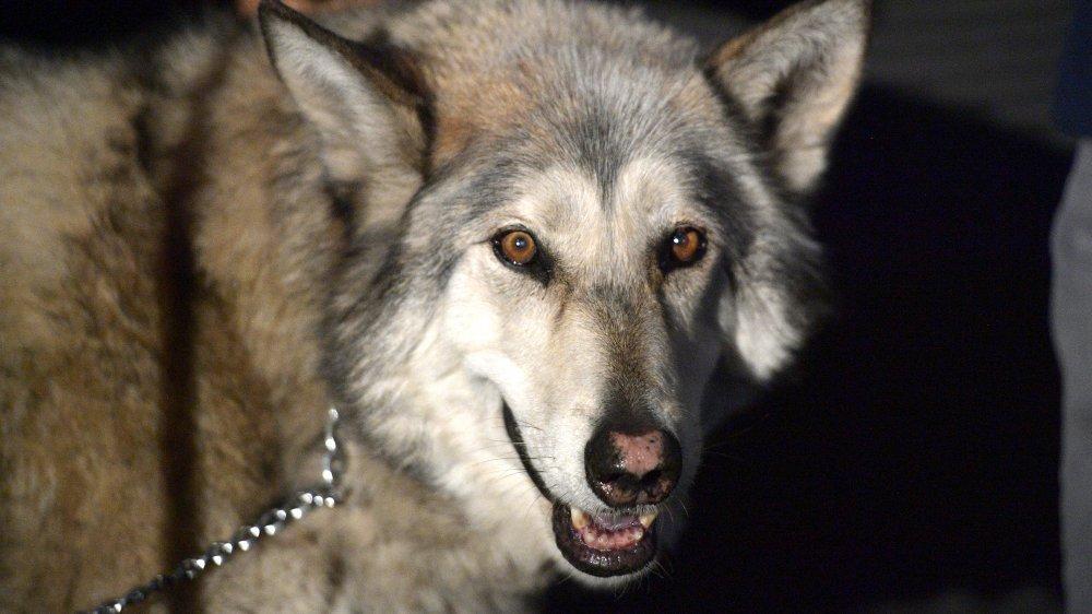 wolf on leash