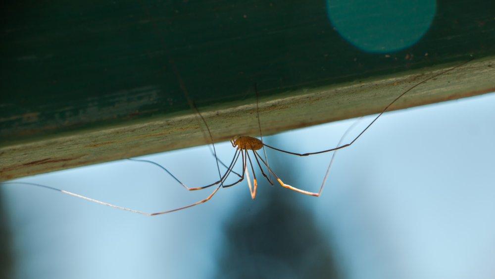 huntsman daddy long legs spider