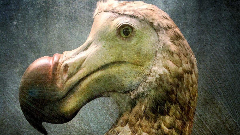dodo bird, extinct