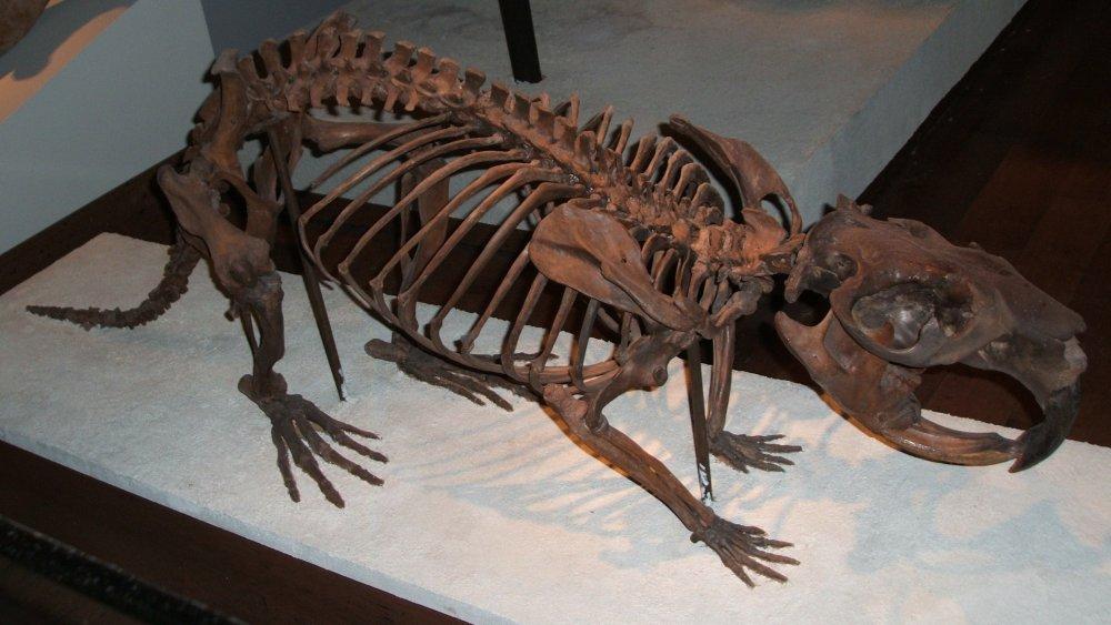 Giant beaver skeleton