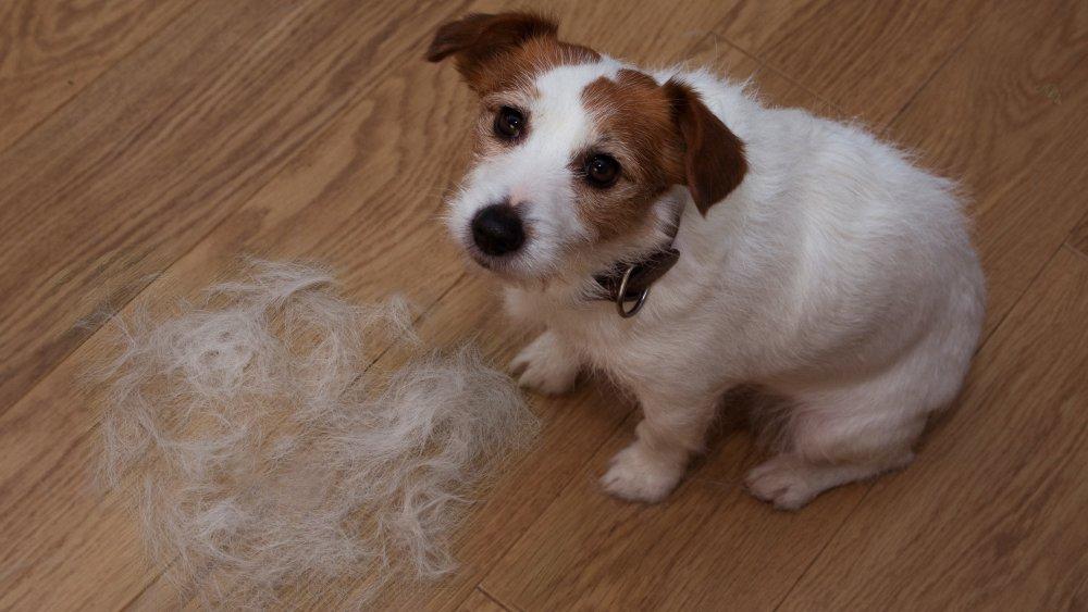 dog shedding terrier