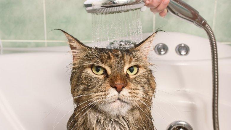 Cat, Bath, Water