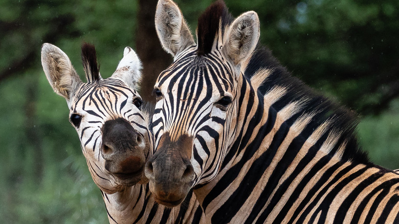 zebra patterned like the quagga extinct