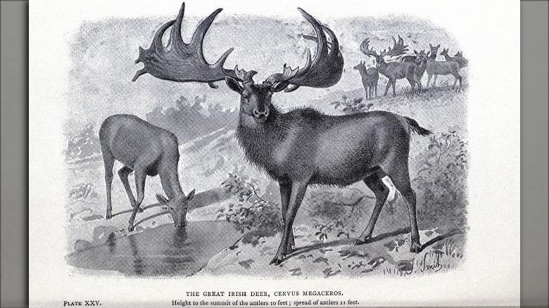 irish elk extinct deer
