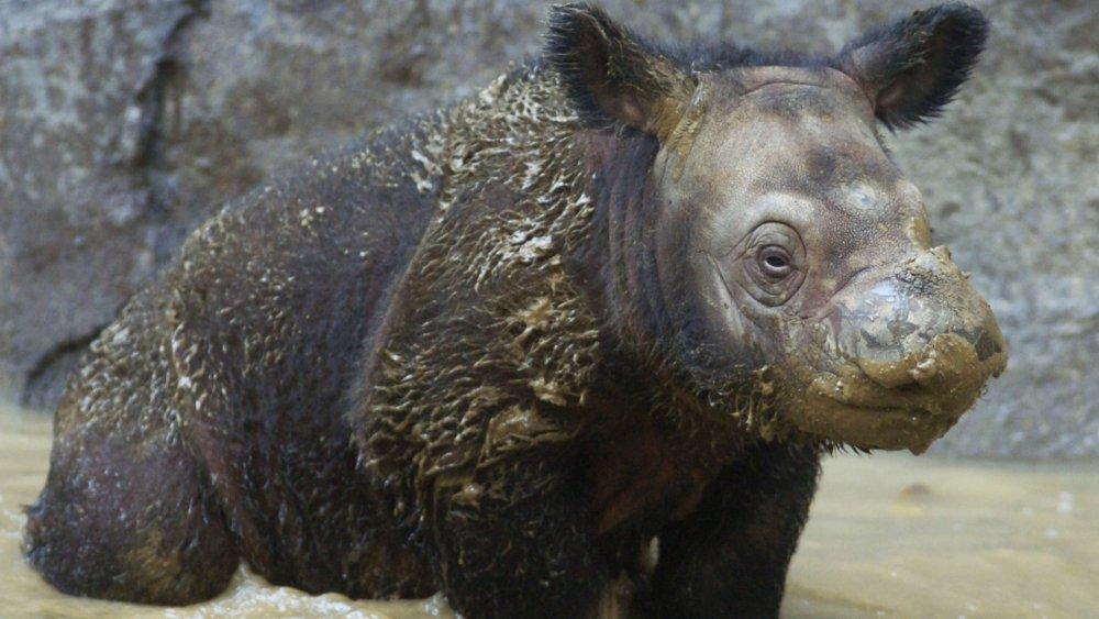 Three week old Sumatran rhino