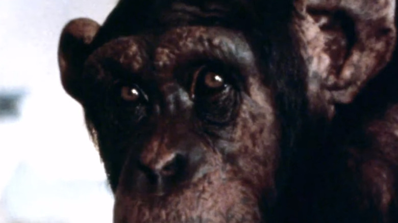 Lucy the chimpanzee eyes