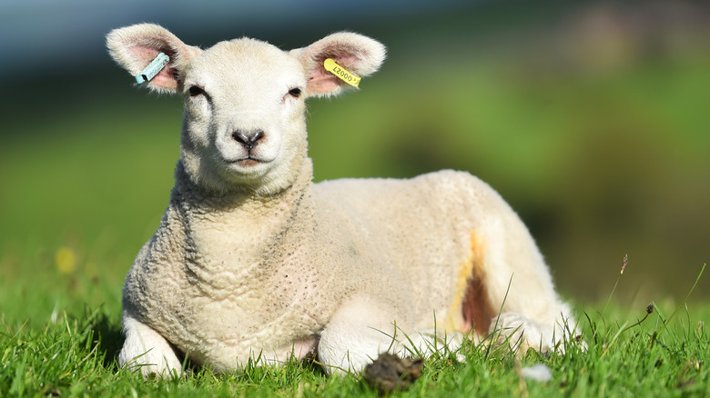 a lamb in the field