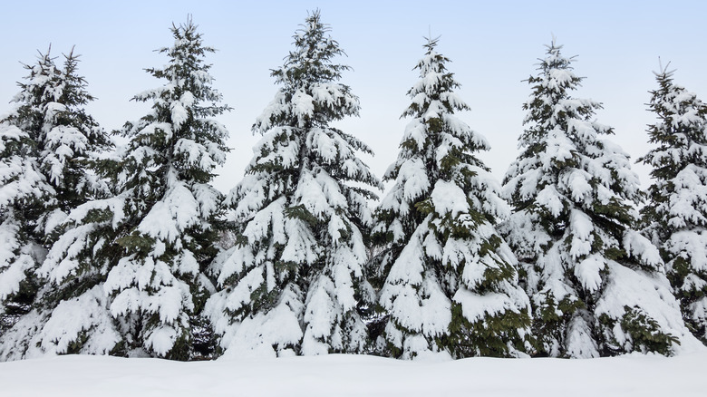 snow-covered evergreens