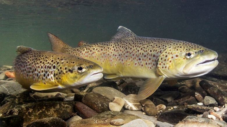 Two trout swimming