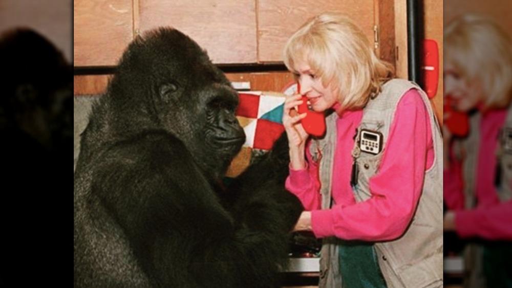 Koko and researcher