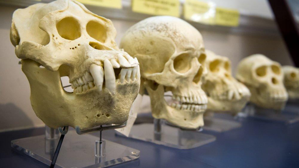 Great ape skulls