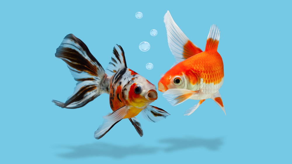 A depiction of two colorful goldfish appearing to 'talk' to each other