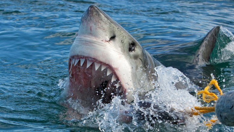 great white shark surfacing menacingly
