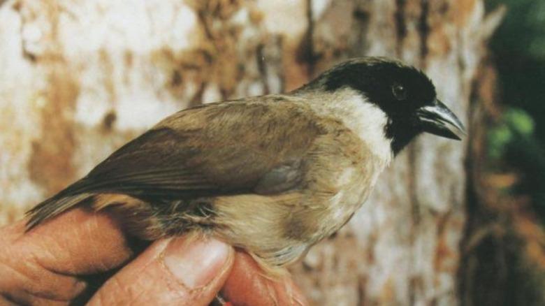 Po'ouli bird extinct