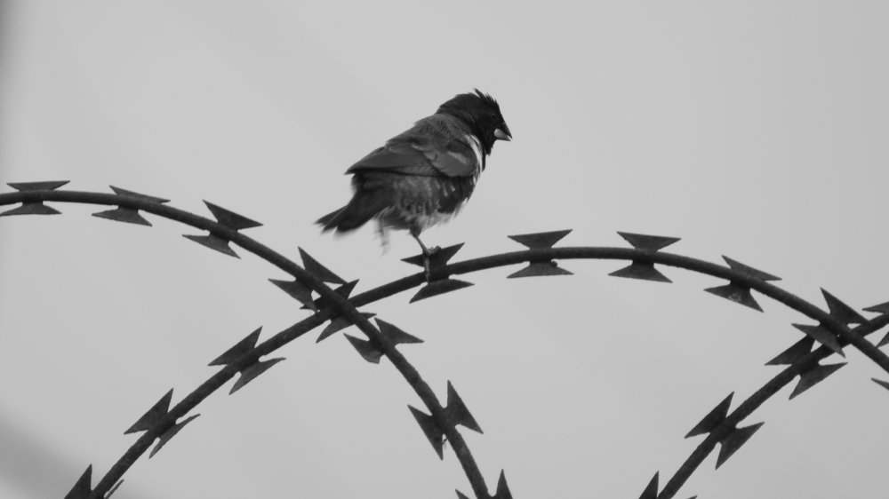 Bird on barbed wire