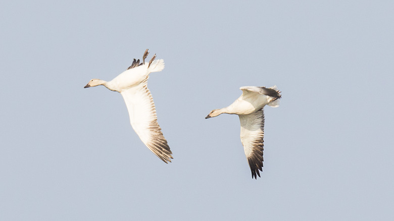 Geese whiffling in sky