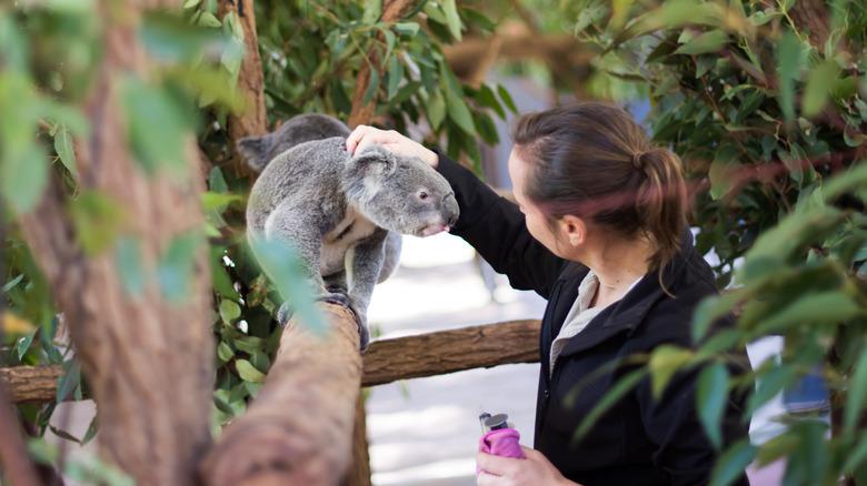 koala and human
