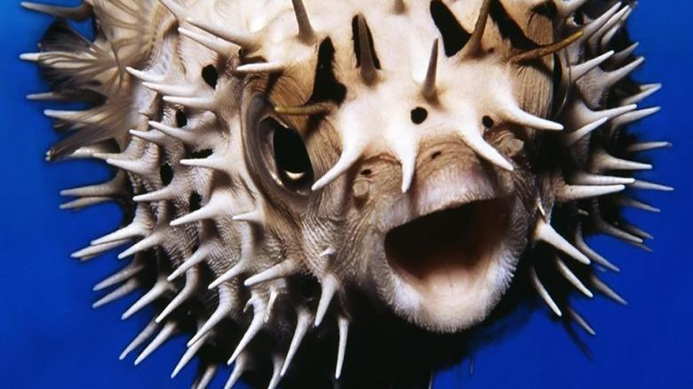An inflated pufferfish