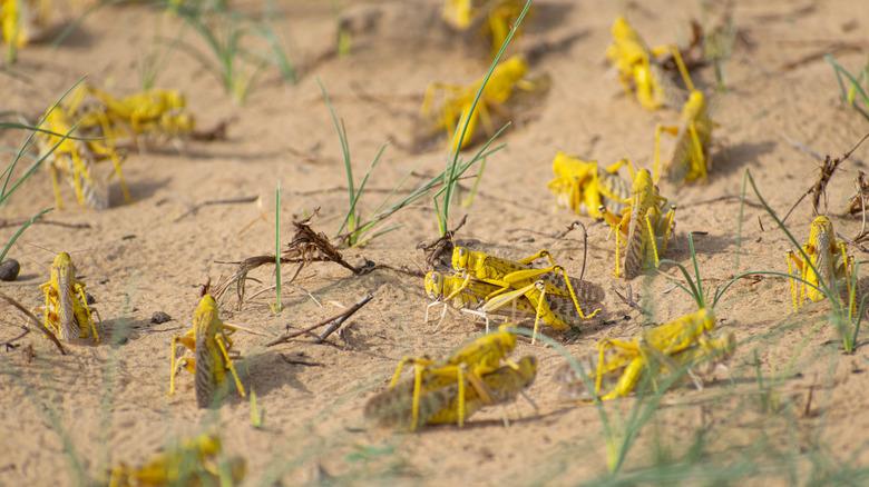 Migratory locusts on a devastated landscape
