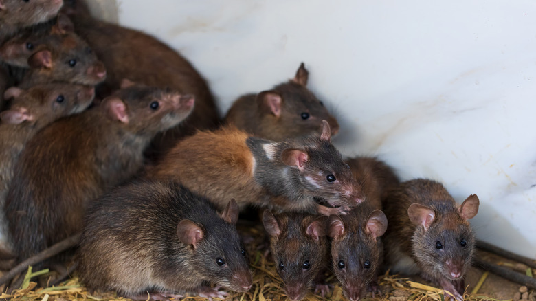 A group of rats piled atop on another