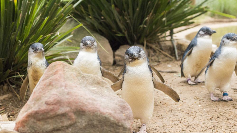 fairy penguins on the beach
