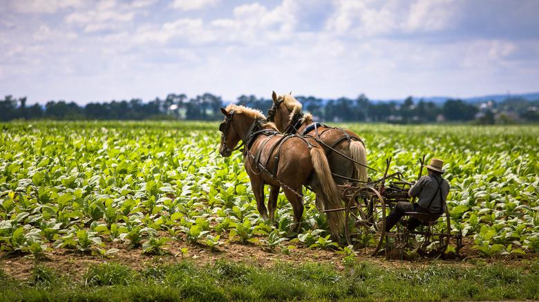 Amish farmer working land