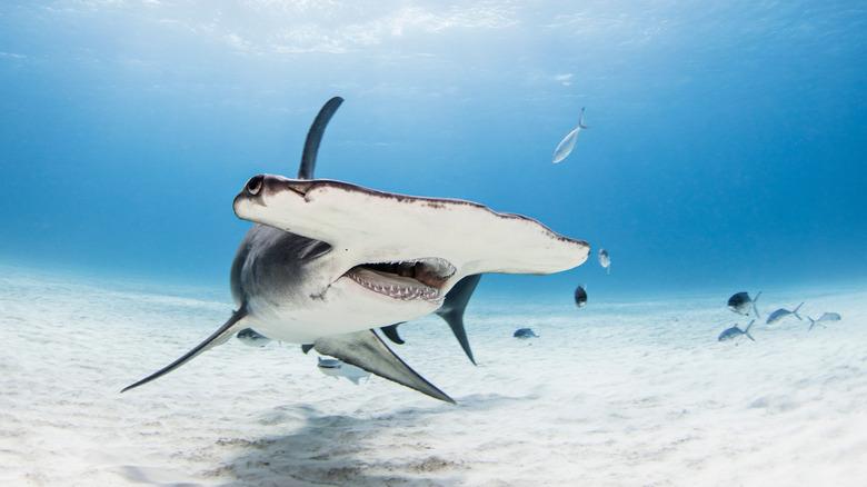 hammerhead shark head on