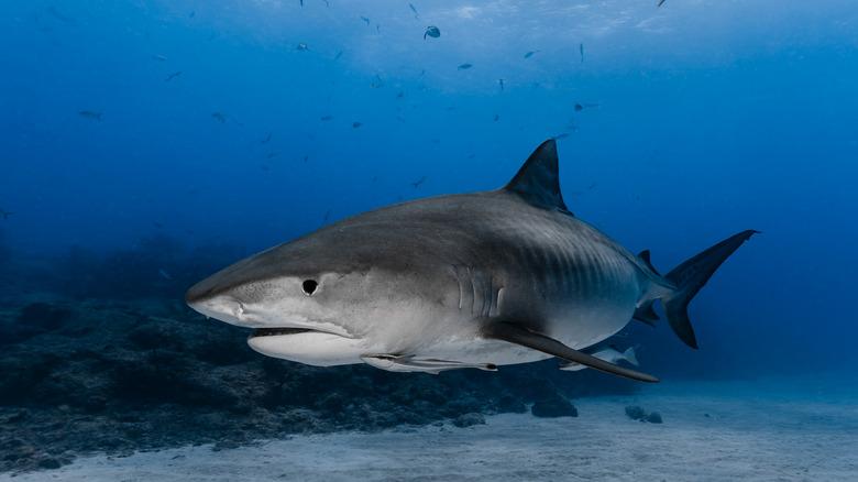 Tiger shark swimming near reef